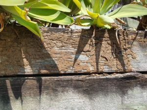 termite mudding on timber retaining wall (Small)